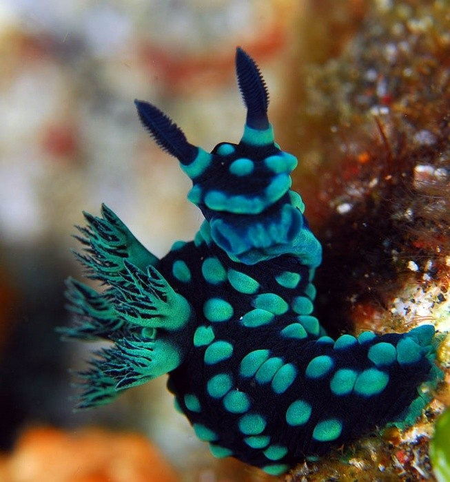 Photo:  Nudibranch 10